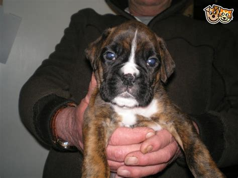 boxer puppies for sale in colorado boxer puppies for sale chesterfield derbyshire pets4homes