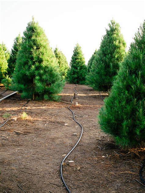 myrtle beach christmas tree farm the southern california tree garden betty