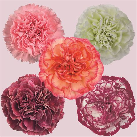 facts about carnations carnation perpetual flower plant collection d t brown