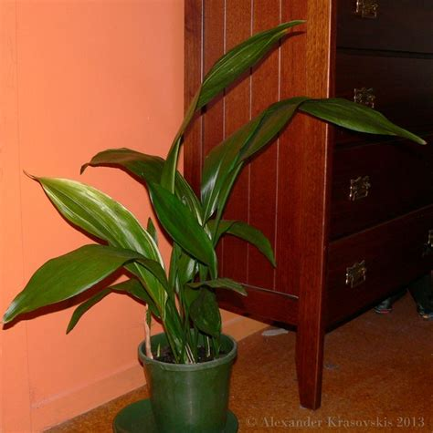 house plants low light 17 best images about low light houseplants on pinterest