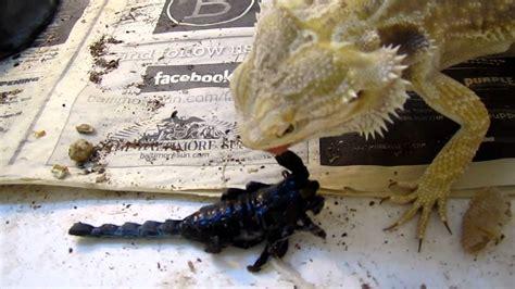 how often do bearded dragons go to the bathroom bearded dragon vs emporer scorpion youtube