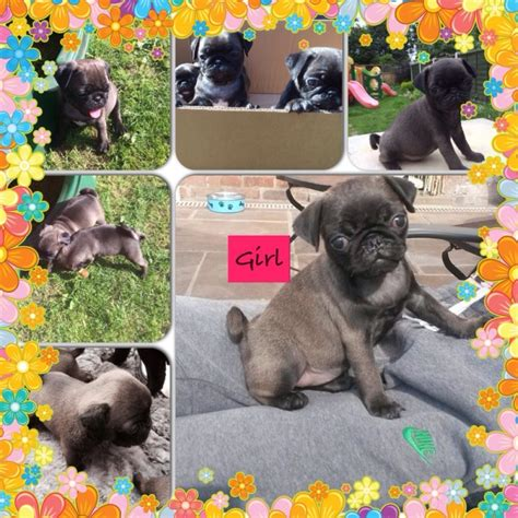 silver pug puppies for sale uk silver platinum pug puppies pug for sale