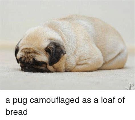 pug loaf of bread 25 best memes about loaf of bread loaf of bread memes