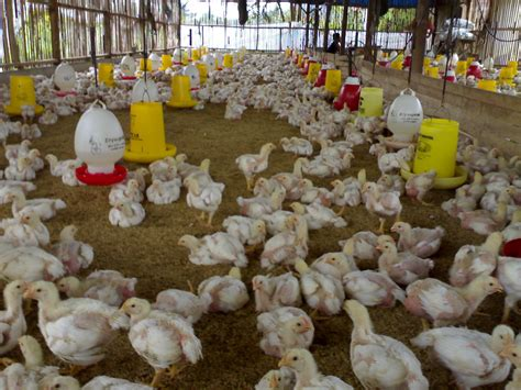supplier ayam jual ayam potong dan karkas ud viky bahagia