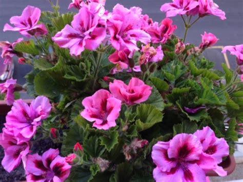 fiori antizanzare piante antizanzare quali sono le pi 249 efficaci