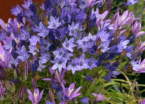 brodiaea laxa queen fabiola quot ithuriel s spear quot buy online at annie s annuals