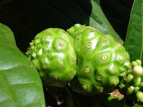 Teh Noni august 2012 noni fruit