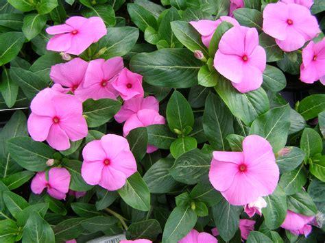 Bunga Vinca Casade Mixed vinca pendente vinca major flores cultura mix