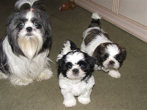 black shih tzu puppies for sale shih tzu puppies for sale in wicket s garage sale nutley nj