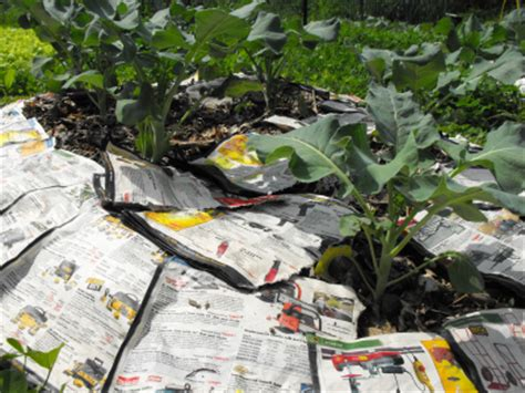 How To Make Paper Mulch - vegetable garden mulch experiments