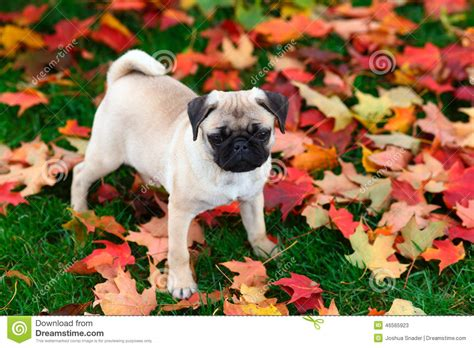 pug in leaves pug puppy standing in colorful autumn leaves in green grass stock photo image 46565923