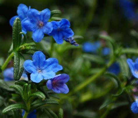 piante mediterranee da vaso lithodora diffusa vivai tempesta piante mediterranee