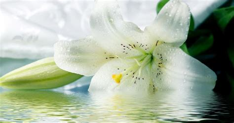 tarian penaku sekuntum lily putih