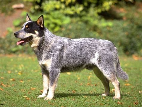 top 10 smartest breeds top 10 smartest breeds abdi