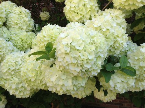shade hydrangea best hydrangea for shade 28 images garden muses not