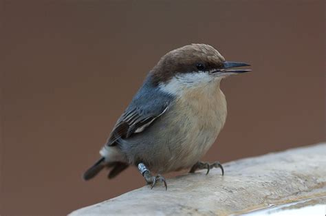 brown headed nuthatch song call voice sound