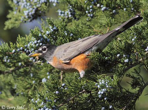 american robin south dakota birds and birding