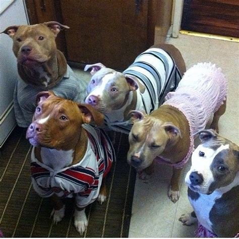 sweaters for pitbulls pitbulls in sweaters just d