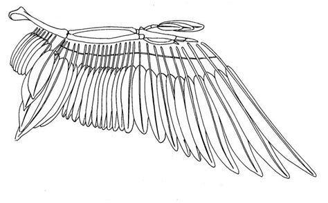 bird wing diagram bird bones structure bird wing structure big