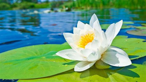 Wallpaper Bunga Lily Hd | water lily wallpapers wallpaper cave