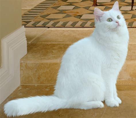 ragdoll white cat white cat breeds purrfect cat breeds