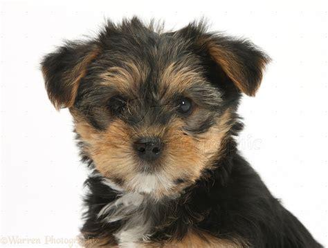 yorkie cross yorkie cross pup photo wp27846