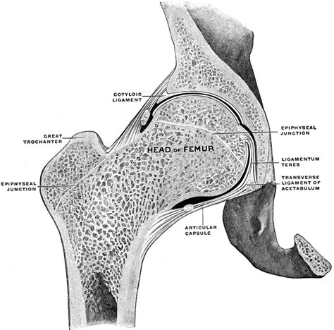 Frontal Section Of Hip Joint Clipart Etc