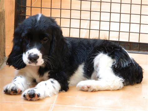 cocker spaniel puppies price cocker spaniel puppies for sale mohit 1 10816 dogs for sale price of