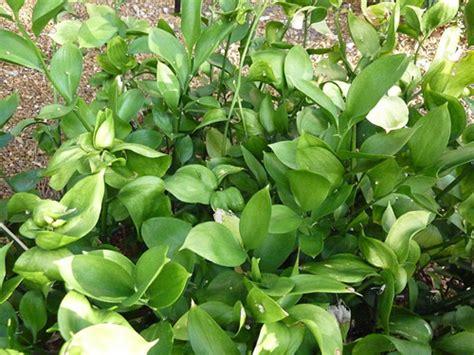 cut foliage plants ruscus fresh cut foliage catalog flora export s g
