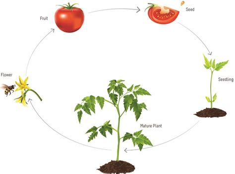 diagram of a tomato plant flower reproduction diagram clipart
