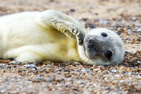 Seal Pop Seal Jus a gray seal baby boom is way takepart