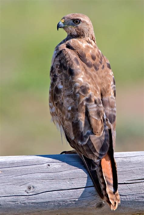 file red tailed hawk jpg