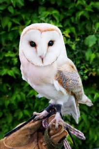 Barn Owl Meaning Coruja Branca Albina Ideias E Dicas
