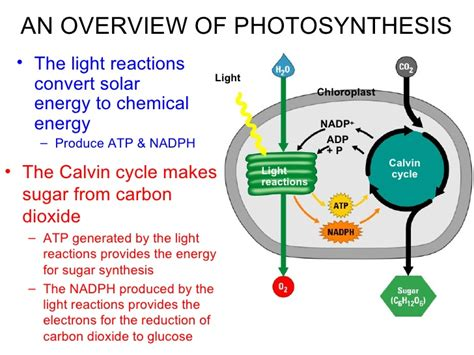 Light Reactions Of Photosynthesis by Photosynthesis Huss