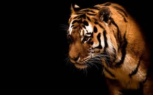 Contemporary Indian Wedding Invitations Animals Fearless And Beautiful Tiger Free Desktop Wallpaper S