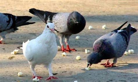 la paloma caracteristicas tipos  comen habitat  reproduccion