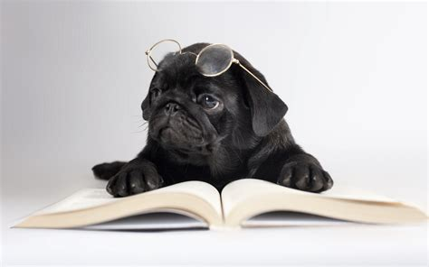 black pug puppy wallpaper dogs black pug glasses book animals humor puppy wallpaper 2560x1600 100554