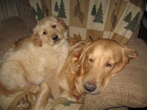 german shepherd and golden retriever puppies pin golden retriever german shepherd mix pictures on