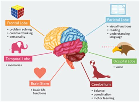 some interesting facts you can consider while buying main parts of the human brain and subdivisions of human