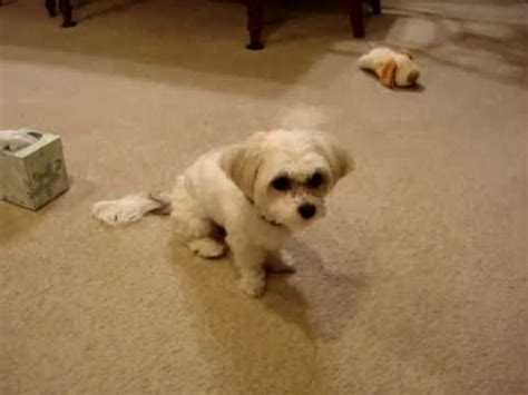 how to teach a shih tzu tricks maltese shih tzu mix tricks how to make do everything