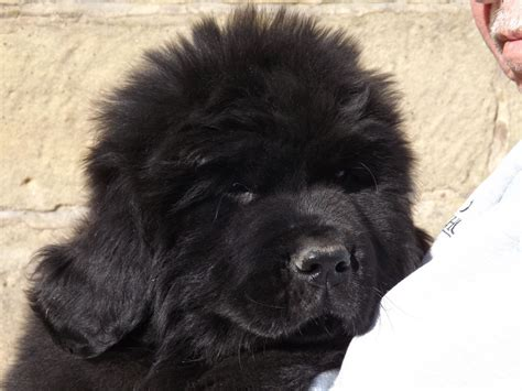 black newfoundland puppy kc registered black newfoundland puppy northallerton