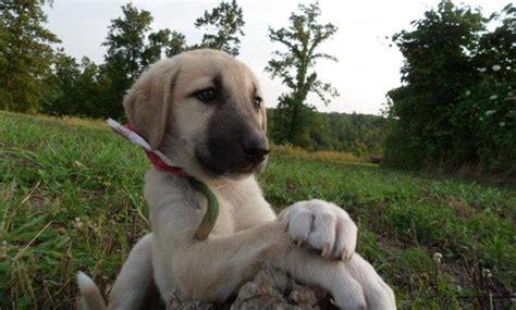 anatolian shepherd puppy anatolian shepherd breed profile australian lover