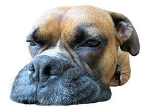 how much to feed a boxer puppy boxer water and issues