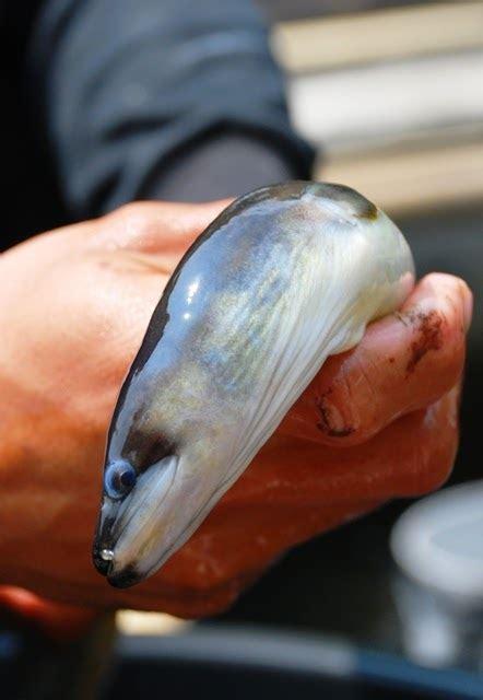 Jual Benih Ikan Sidat Jakarta jual benih sidat bicolor dan sidat konsumsi