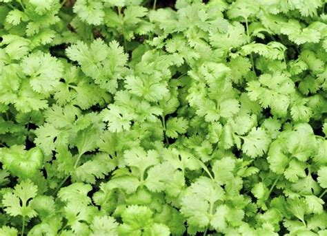 substitute for parsley in recipe