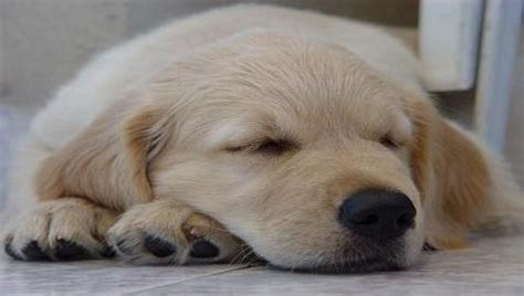 golden retriever puppy sleeping habits golden retrievers your source of information about golden retrievers