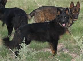 bi color german shepherd german shepherds ddr shepherds