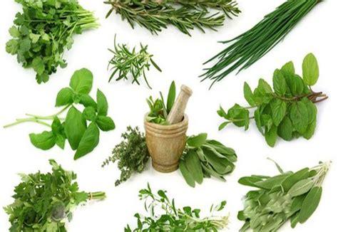 Tanaman Herbal Arbena Hutan jenis tanaman herbal asal indonesia ini berkhasiat untuk kesehatan tubuh kabar rantau