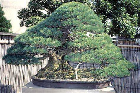 Teuerster Bonsai Der Welt 5077 teuerster bonsai der welt eindr cke einer japanreise 1994