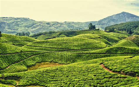 wallpaper for walls kerala tea plantations in kerala india wallpaper